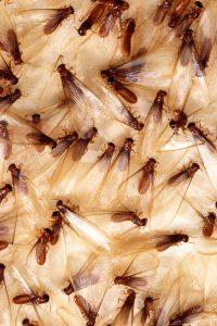 Home Remedies to Kill Termites